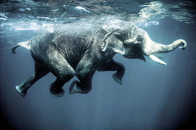 Swimming Elephant Print by Olivier Blaise
