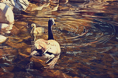 Geese Digital Art - Swimming With Mom by Maria Angelica Maira