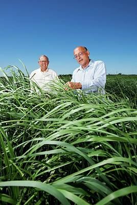 Breed Study Photograph - Switchgrass Crop Research by Peggy Greb/us Department Of Agriculture