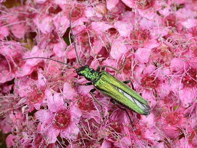 Beetle Photograph - Swollen-thighed Beetle by Nigel Downer