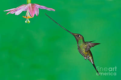 Sword-billed Hummer Print by Anthony Mercieca