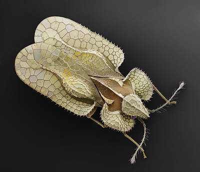 Microscopy Photograph - Sycamore Lace Bug Sem by Albert Lleal