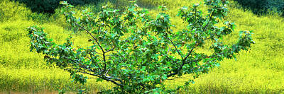 Sycamore Tree In Mustard Field Print by Panoramic Images