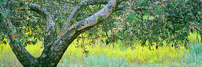 Sycamore Tree In Mustard Field, San Print by Panoramic Images