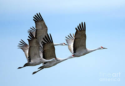 Sandhill Crane Photograph - Synchronized by Mike Dawson