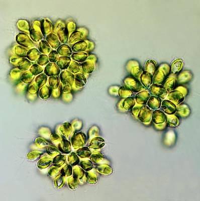 Algal Photograph - Synura Golden Algae by Marek Mis