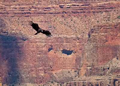 Photograph - Tagged Condor In The Canyon by R J Ruppenthal