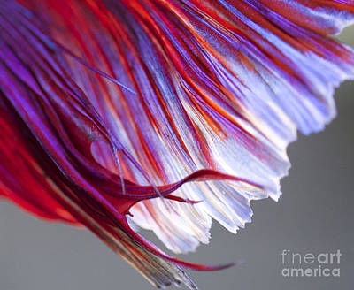 Tail Betta Fish Print by Jennifer Gaida