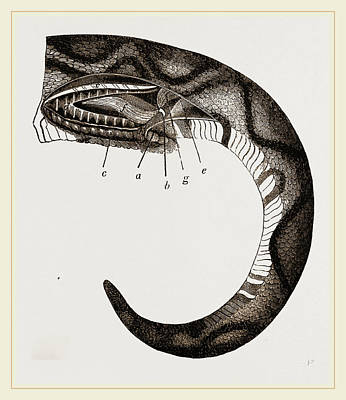 Boa Constrictor Drawing - Tail Of Boa by Litz Collection