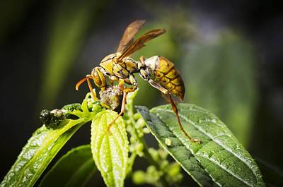 Eating Entomology Photograph - Taiwan Hornet Feeding On A Caterpillar by Science Photo Library