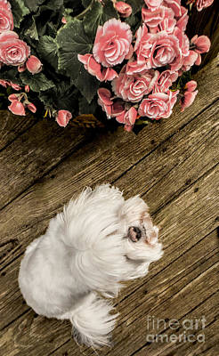 Animal Photograph - Havanese Puppy by Charlie Cliques