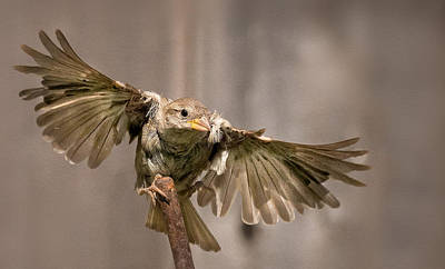Finch Photograph - Taking Flight by Rick Barnard