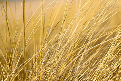 Tall Golden Grass Print by Anthony Doudt