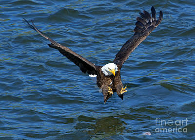 American Bald Eagle Photograph - Talons First by Mike Dawson