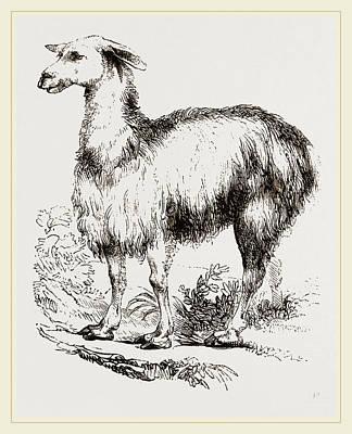 Llama Drawing - Tame Llama White by Litz Collection