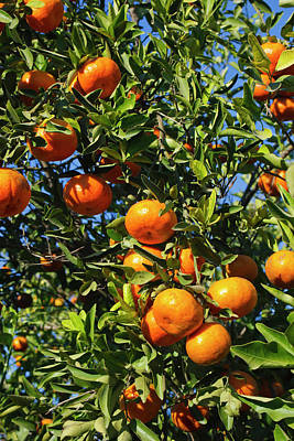 Tangerines Photograph - Tangerine Tree In Orange Grove by Larry Ditto