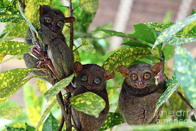 Philippines Photograph - Tarsier by Lars Ruecker