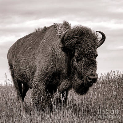 Bison Photograph - Tatanka by Olivier Le Queinec