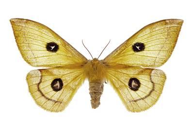 Tau Emperor Moth Print by F. Martinez Clavel