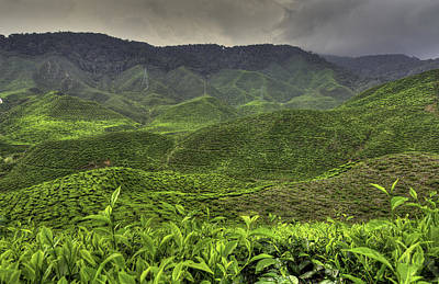 Tea Farm Print by Mario Legaspi