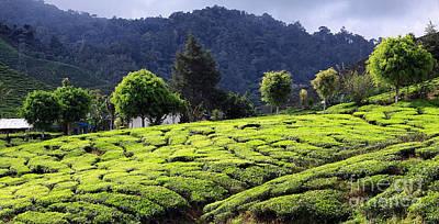 Tea Plantation Print by Charline Xia