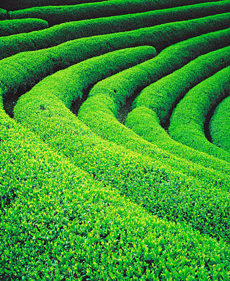 Tea Plantation Print by Panoramic Images