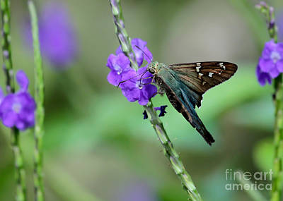 Teal Long Tailed Skipper Butterfly Print by Sabrina L Ryan