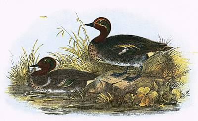 Reeds Drawing - American Teal  by English School