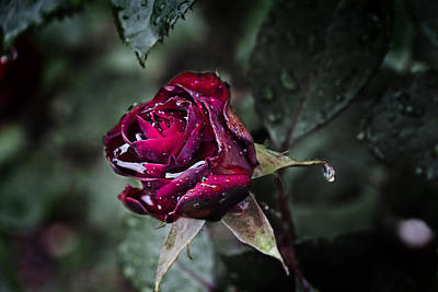 Romantic Photograph - Teardrop Rose by EXparte SE