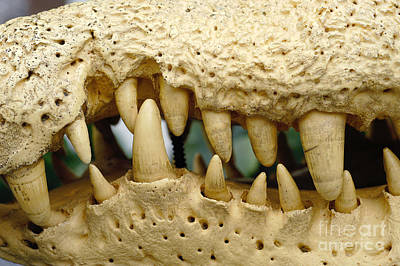 Crocodile Photograph - Teeth Of Nile Crocodile by Gregory G. Dimijian