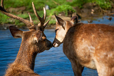 Tender Kiss. Deer In The Pamplemousse Botanical Garden. Mauritius Print by Jenny Rainbow