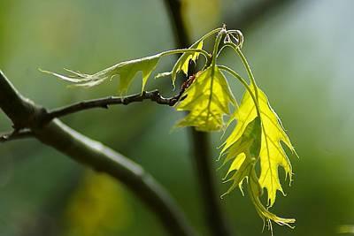 Tender Oak Leaves Emerge Print by Beth Akerman