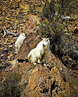 Teton Mountain Goats Print by Greg Norrell