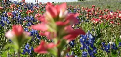 Texas Beauties Print by David  Norman