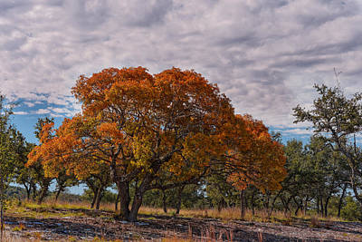 Texas Red Oak On Fire In The Hill Country - Fall Foliage Season In Central Texas Print by Silvio Ligutti