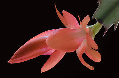 Christmas Cactus Photograph - Thanksgiving Cactus by James Barber