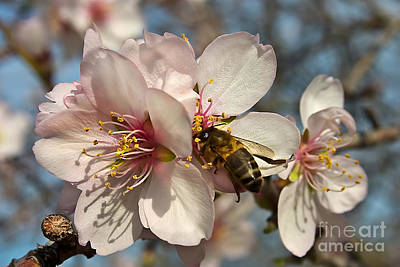 Nigel Hamer Photograph - The Almond Blossom by English Landscapes