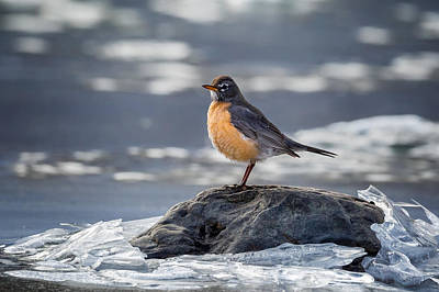 Robins Photograph - The American Robin by Bill Wakeley