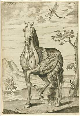 'the Anatomy Of A Horse Print by Celestial Images