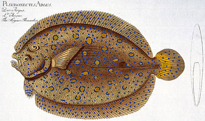 Angling Drawing - The Argus Flounder by Andreas Ludwig Kruger