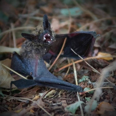 Bat Digital Art - The Bat Painterly by Ernie Echols