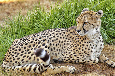Cat Photograph - The Beautiful Cheetah by Jason Politte