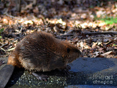 The Beaver Print by Eva Thomas