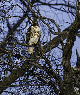 Red Tail Hawk Photograph - The Bird Of Prey by Thomas Young