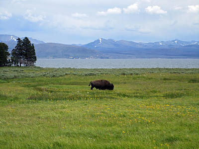 Flowers Photograph - The Bison Wanderer by Mike Podhorzer