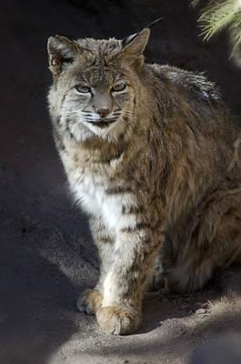 Bobcats Photograph - The Bobcat by Saija  Lehtonen