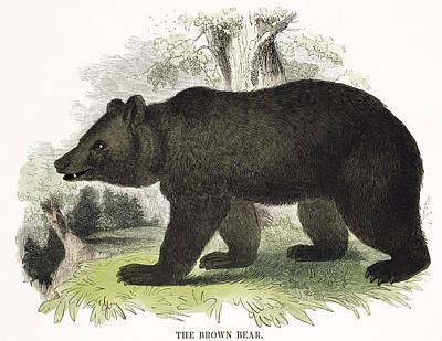Wild Animals Drawing - The Brown Bear, Educational by Josiah Wood Whymper