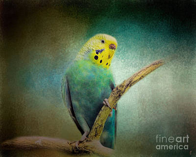 Parakeet Photograph - The Budgie Collection - Budgie 1 by Jai Johnson