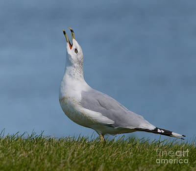 Larus Delawarensis Photograph - The Calling.. by Nina Stavlund