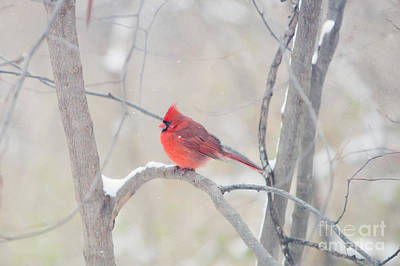 Cardinal Photograph - The Cardinal by Kay Pickens